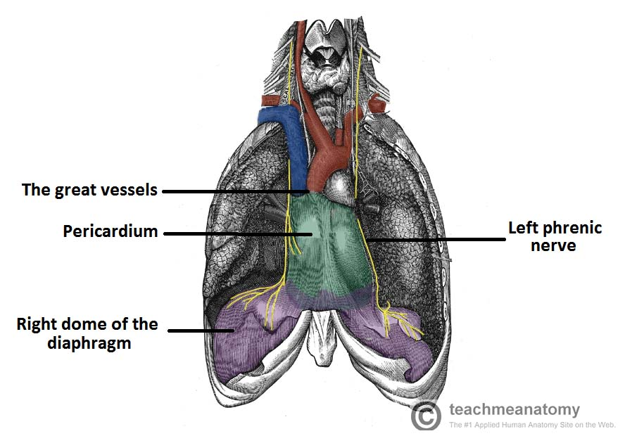 The Pericardium Teachmeanatomy