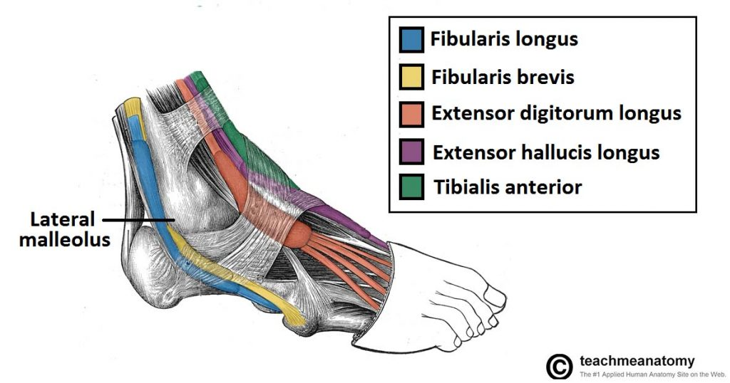 Fig 1.1 - Lateral view of the tendons of the foot. Note the fibularis longus tendon, as it moves underneath the foot.