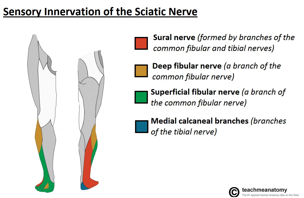 The Sciatic Nerve Course Motor Sensory Teachmeanatomy