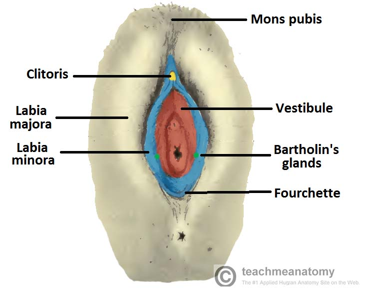 Fig 1.0 - Diagram of the external female genitalia, known as the vulva