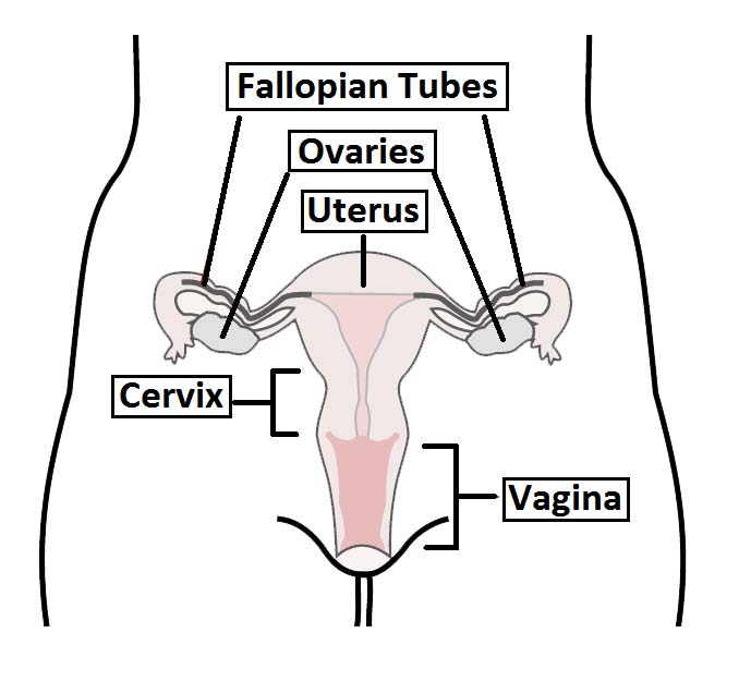 The Fallopian Tubes Uterine Structure Function Vascular Supply