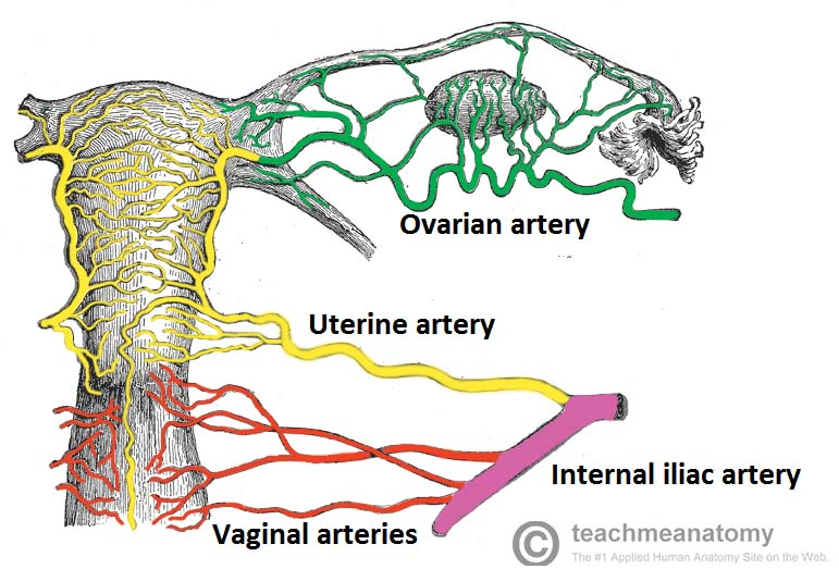 The Uterus Structure Location Vasculature Teachmeanatomy