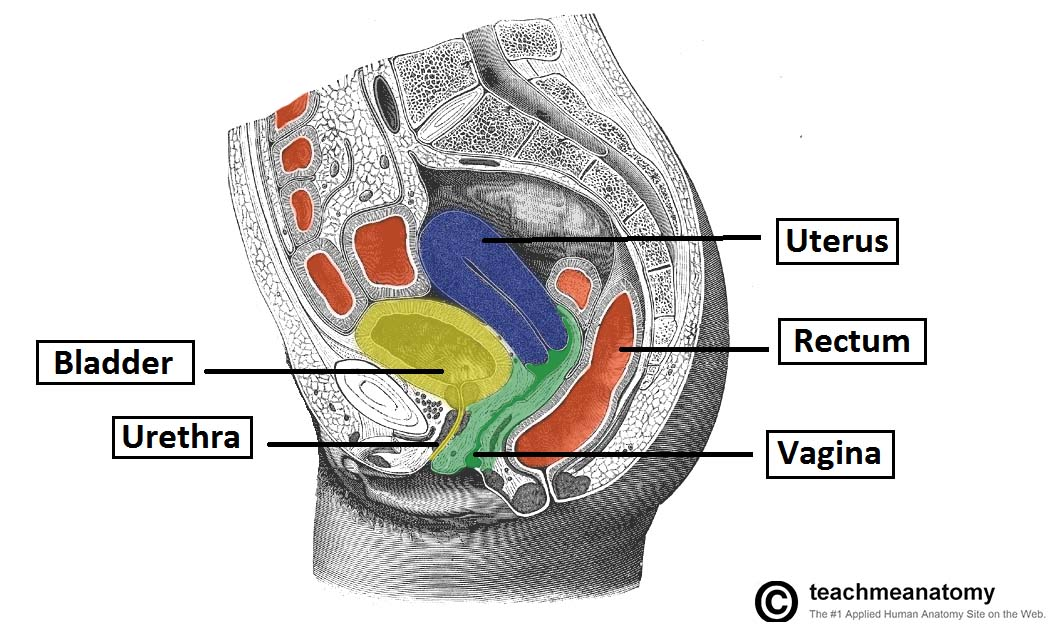 Fig 2 Sagittal Section Of The Female Pelvis Showing The Anatomical Relations Of The Vagina