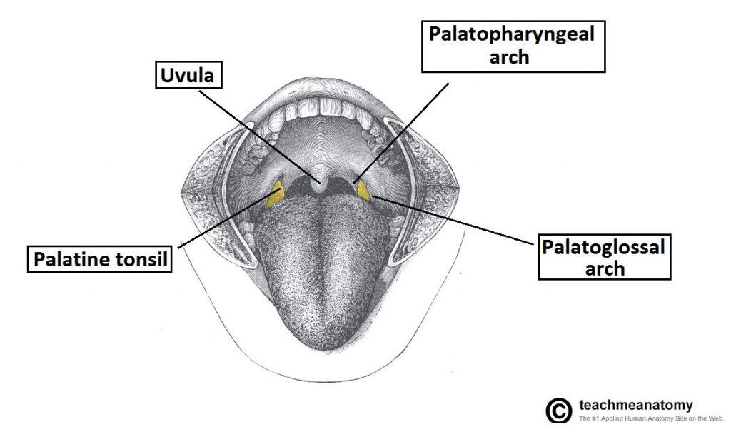 The Palate Hard Palate Soft Palate Uvula Teachmeanatomy