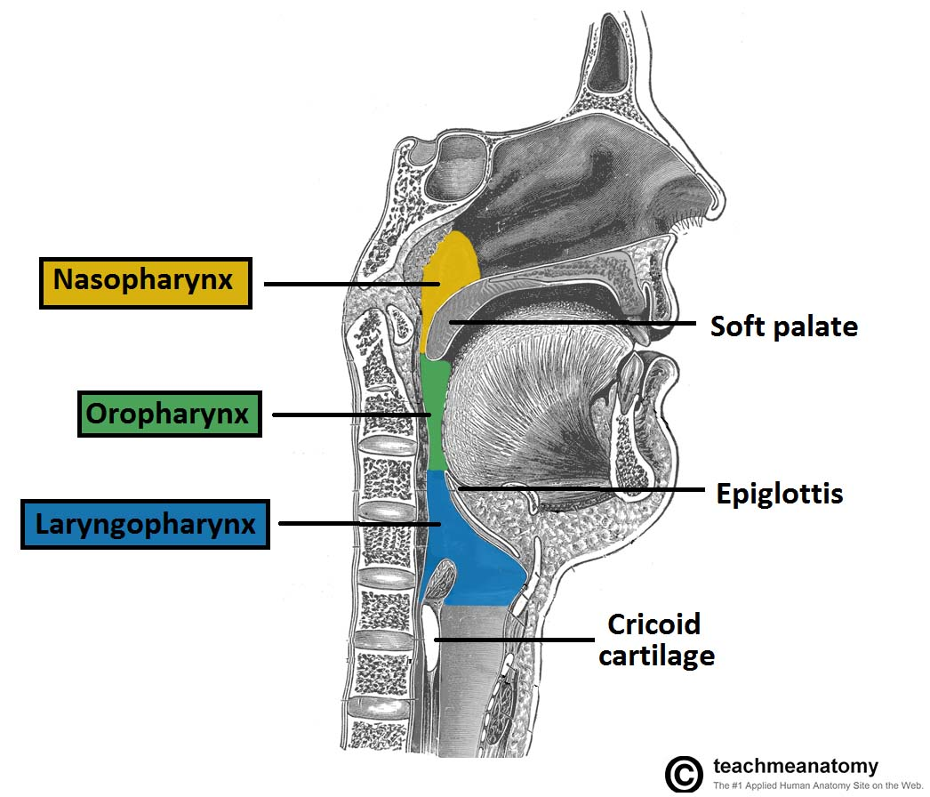 Fig 1.5 - The three parts of the pharynx, and their borders.