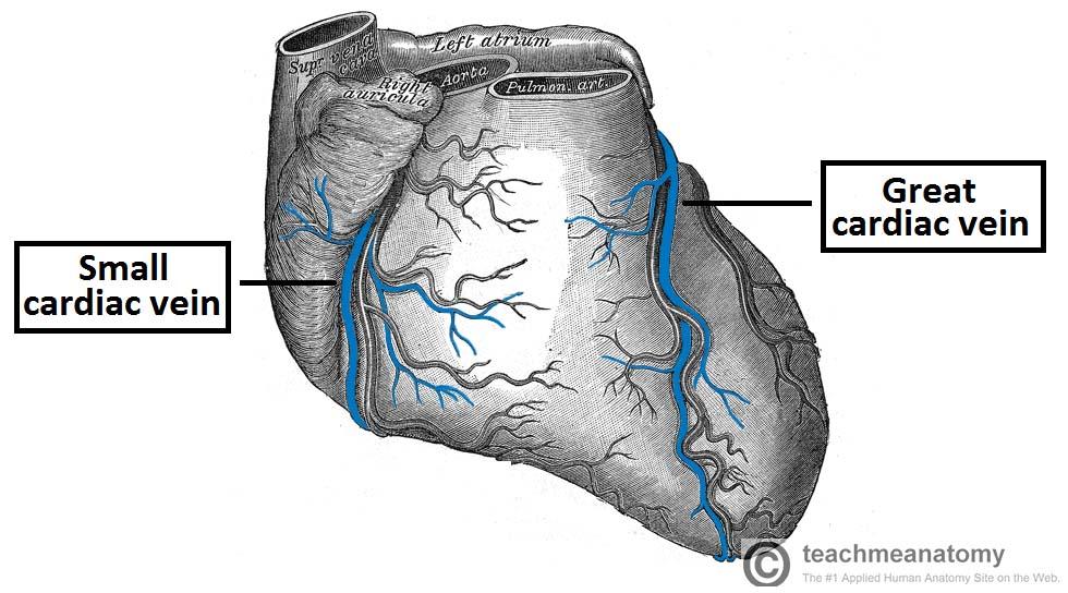 Vasculature of the Heart - TeachMeAnatomy