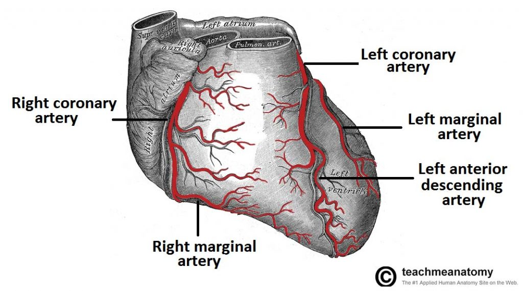 Vasculature Of The Heart Teachmeanatomy