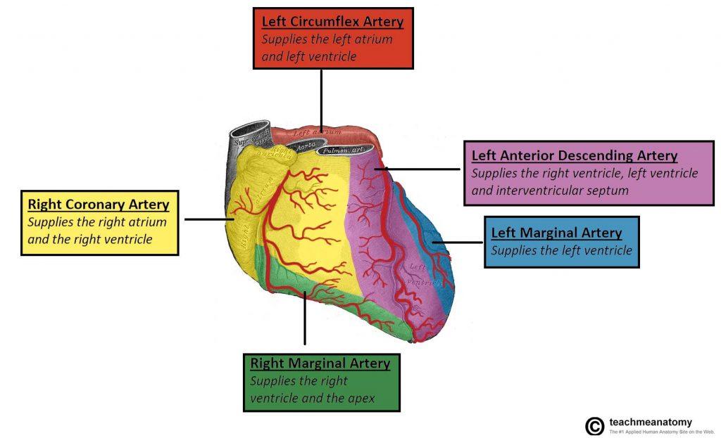 Vasculature Of The Heart Teachmeanatomy
