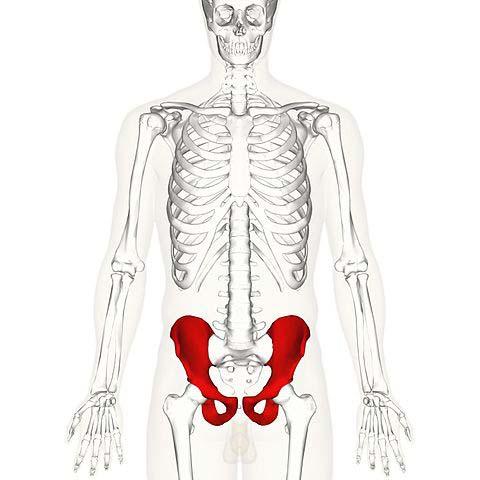 The Hip Bone Ilium Ischium Pubis Teachmeanatomy