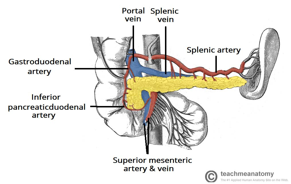 The Pancreas Anatomy Duct System Vasculature Teachmeanatomy