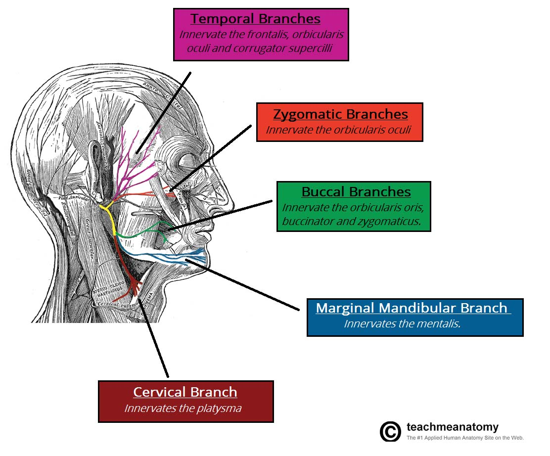 Fig 1.3 - The terminal motor branches of the facial nerve.