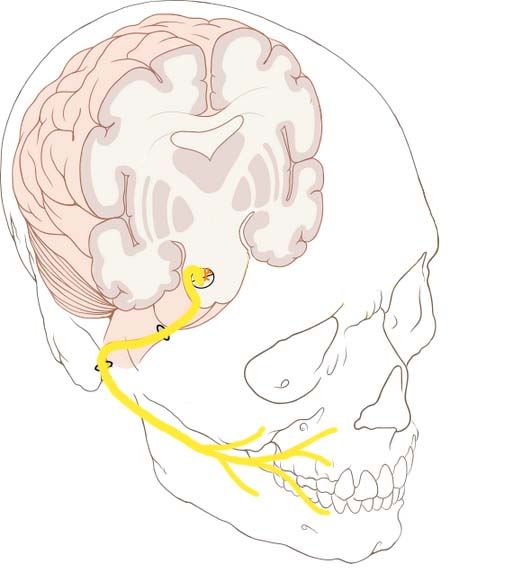 The Facial Nerve Cn Vii Course Functions Teachmeanatomy