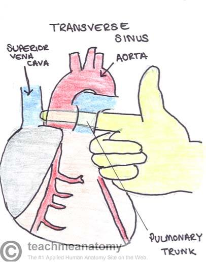 Surface Anatomy Of The Heart Teachmeanatomy