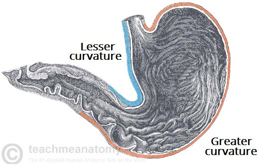 Fig 2 - The greater and lesser curvatures of the stomach