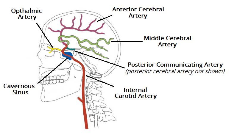 Arterial Supply to the Brain - Carotid - Vertebral - TeachMeAnatomy