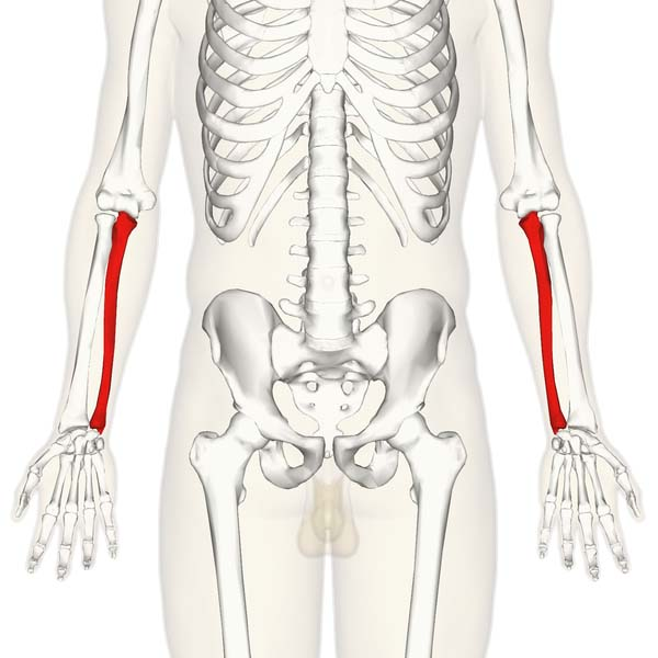 Fig 1.0 - Overview of the anatomical position of the ulna in the upper limb.