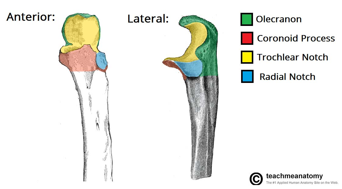 Fig 1.1 - The bony landmarks of the proximal ulna.