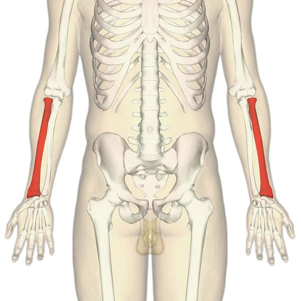 Fig 1.0 - The anatomical position of the ulna.
