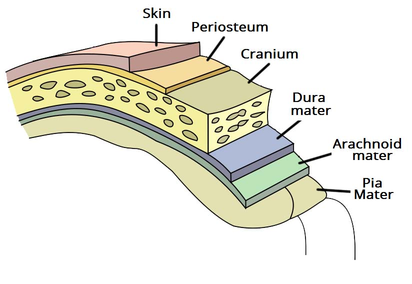 Overview of the Meninges of the Brain diagram of the meninges wiring diagram schematic name
