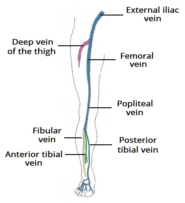 Venous Drainage of the Lower Limb - TeachMeAnatomy