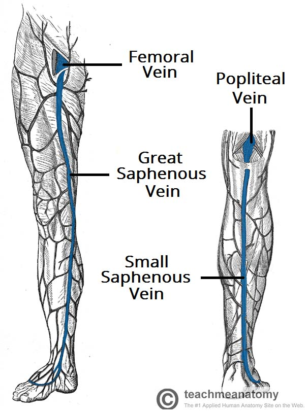 The Lower Limb - TeachMeAnatomy