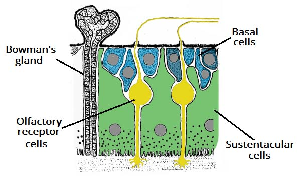 Fig 1.1 - The cells of the olfactory epithelium