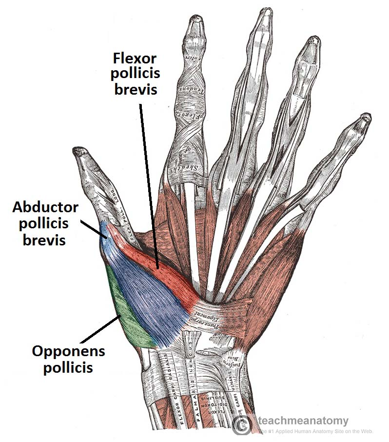 Palmar View of the Thenar Muscles of the Thumb and Hand Labelled TeachMeAnatomy the muscles of the hand thenar hypothenar teachmeanatomy