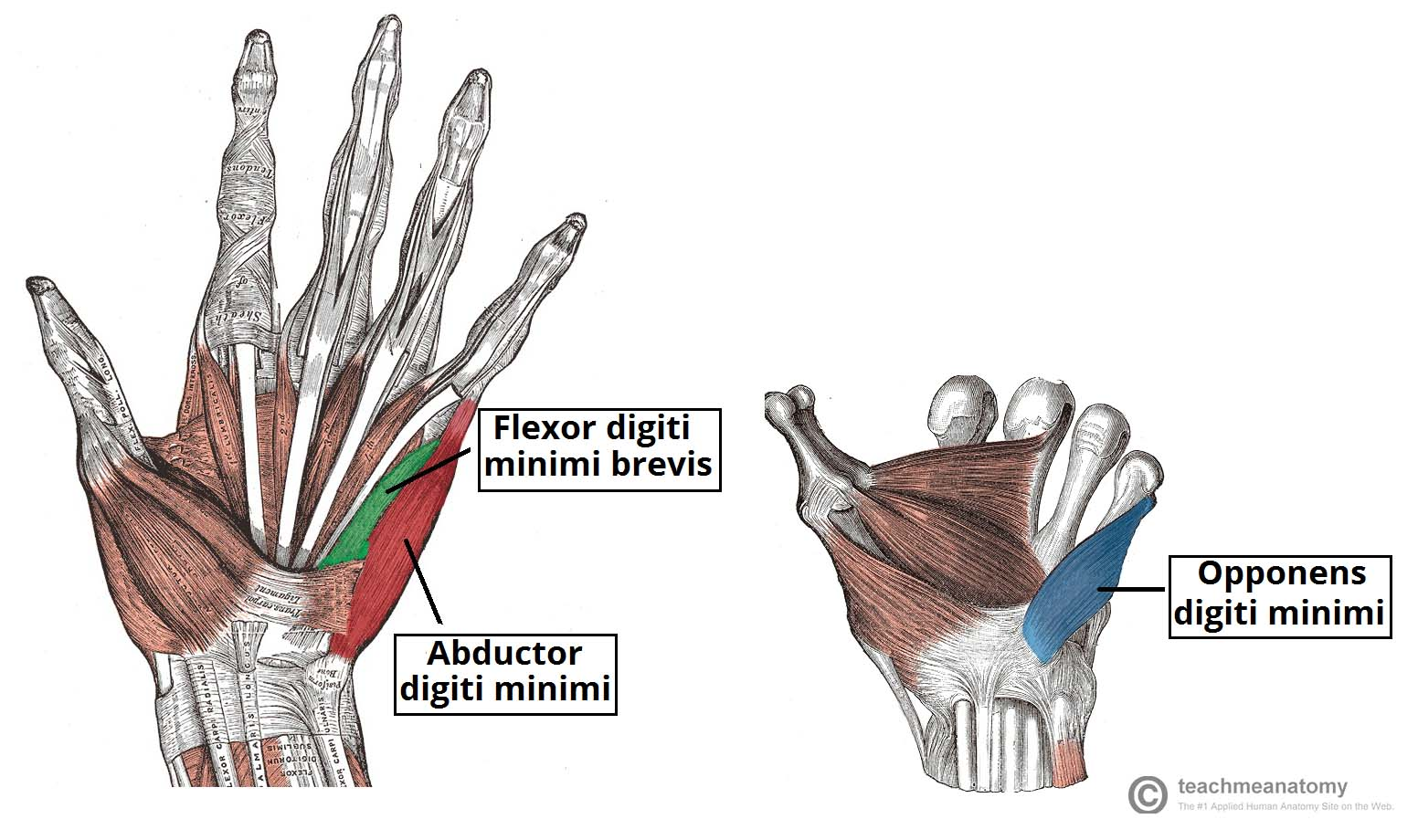 The Muscles of the Hand - Thenar - Hypothenar - TeachMeAnatomy