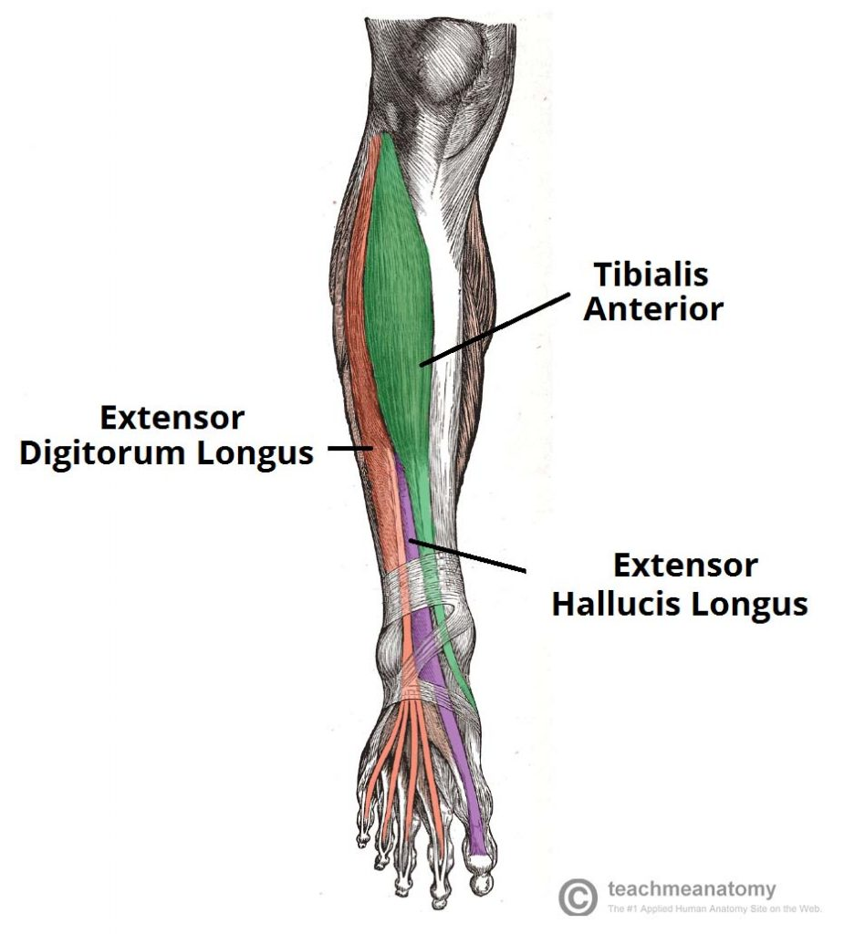 muscles of the anterior leg - attachments - actions - teachmeanatomy
