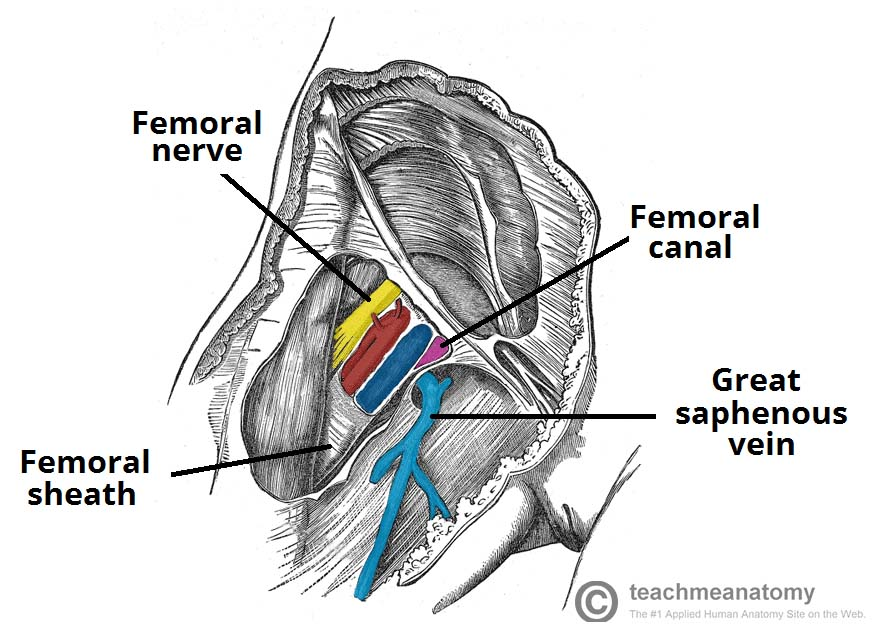 The Femoral Triangle - Borders - Contents - TeachMeAnatomy