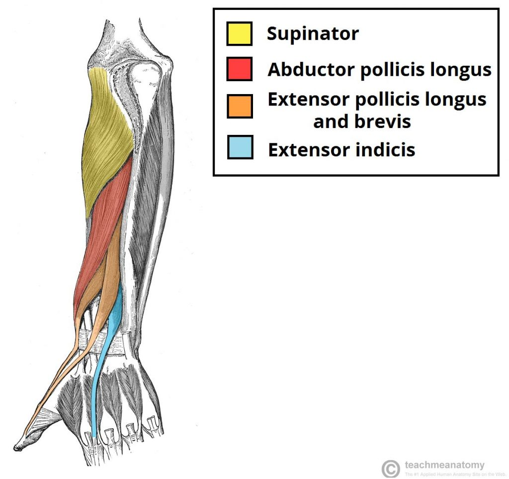 Muscles of the Posterior Forearm - Superficial - Deep - TeachMeAnatomy