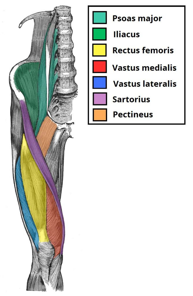 Muscles Of The Anterior Thigh Quadriceps Teachmeanatomy