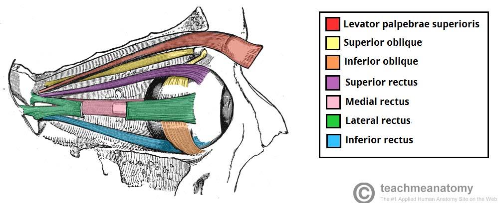 The Extraocular Muscles - The Eyelid - Eye Movement - TeachMeAnatomy