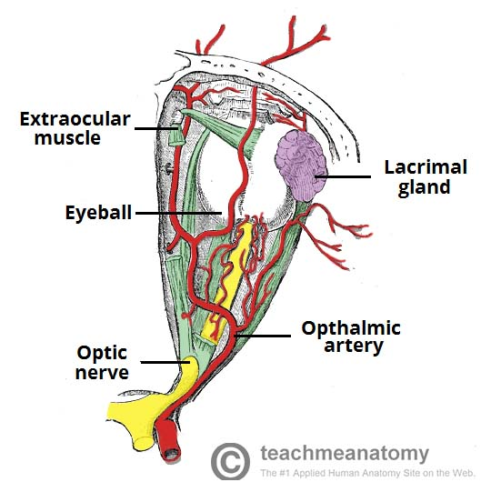 Fig 1.1 - Diagram of the arterial supply to the eye.