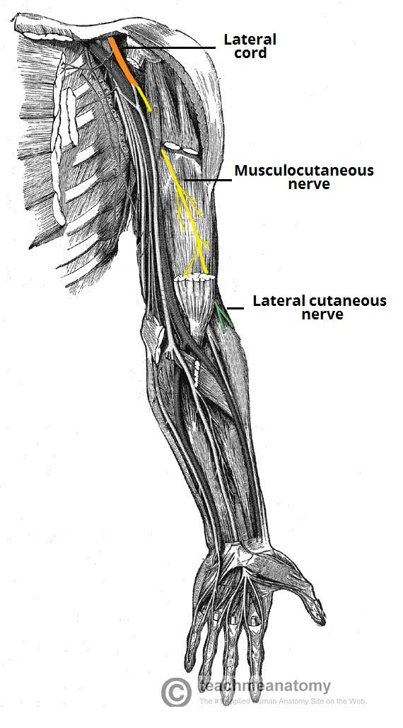 The Musculocutaneous Nerve Course Motor Sensory Teachmeanatomy