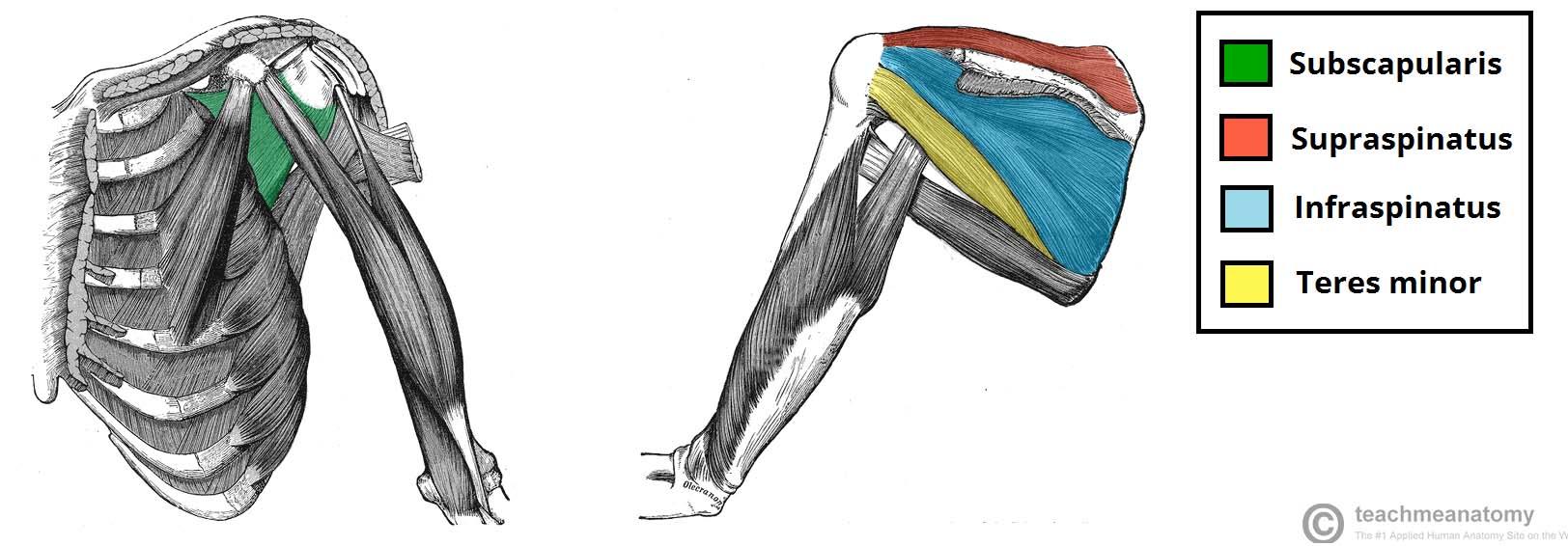 Muscles Of The Shoulder Region Teachmeanatomy