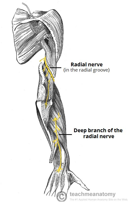 The Radial Nerve - Course - Motor - Sensory - TeachMeAnatomy