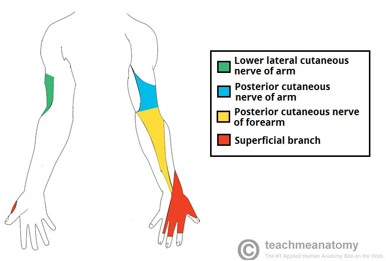 The Radial Nerve Course Motor Sensory Teachmeanatomy