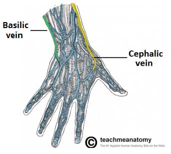 venous drainage of the upper limb basilic cephalic teachmeanatomy