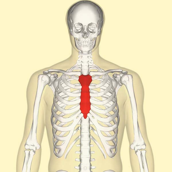 Fig 1.0 - Anatomical position of the sternum in the body thorax.