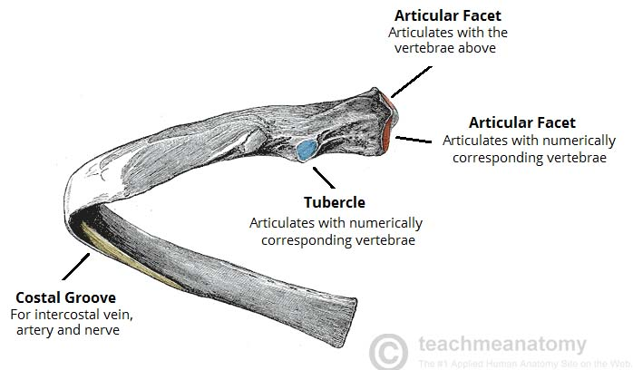 The Ribs Structure Articulations Fracture Teachmeanatomy