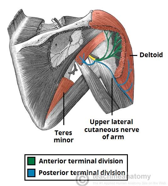 The Axillary Nerve Course Motor Sensory Teachmeanatomy