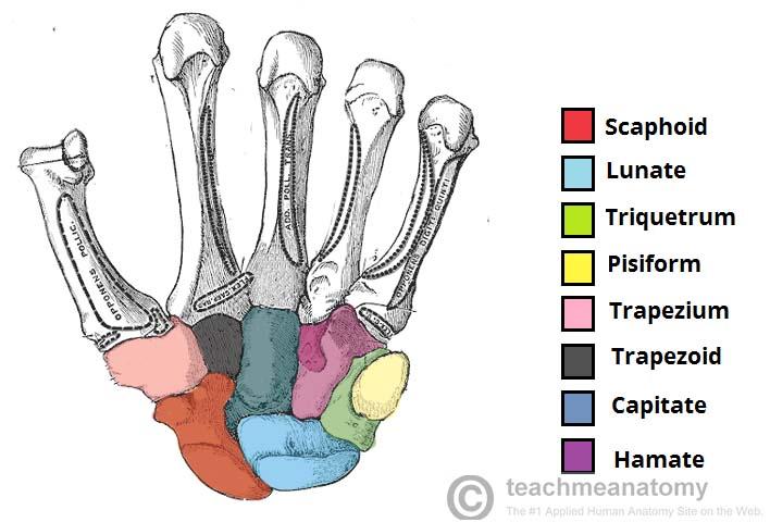 Bones of the Hand - Carpals - Metacarpals - Phalanges - TeachMeAnatomy
