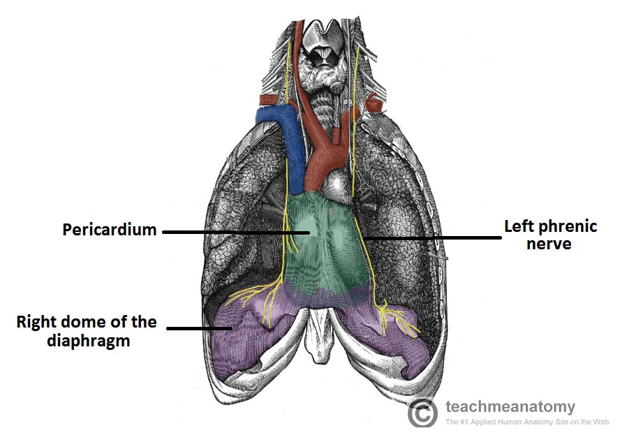 Fig 1.2 - The anatomical course of the phrenic nerves, which innervate the diaphragm.