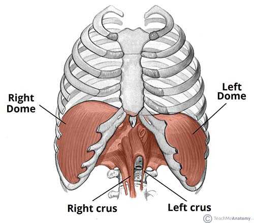 The Diaphragm Actions Innervation Teachmeanatomy. 10 The Diaphragm Is Split Into Two Lobes Left And Right Note Vertebral Attachments Of Are Crura. GM. Diagram Of A Diaphragm At Scoala.co