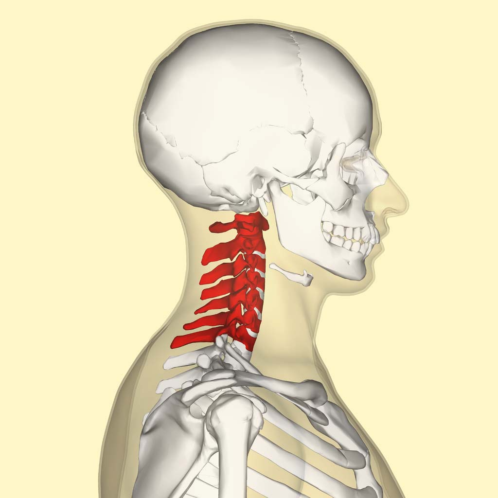 Fig 1.0 - Overview of the location of the cervical spine.