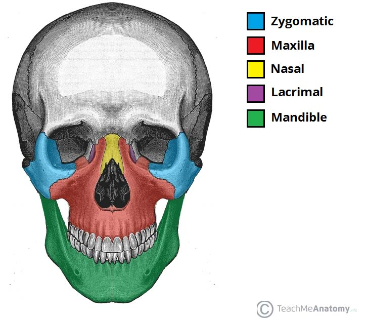 Fig 1.1 - Anterior view of the face, showing some of the bones of the nasal skeleton. The vomer, palatine and inferior conchae bones lie deep within the face.