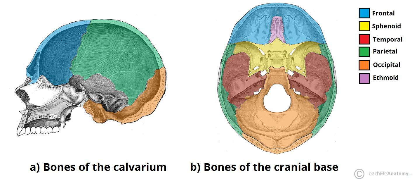 bones of the skull structure fractures teachmeanatomy Facial Skeleton Diagram fig 1 \u2013 bones of the calvarium and cranial base