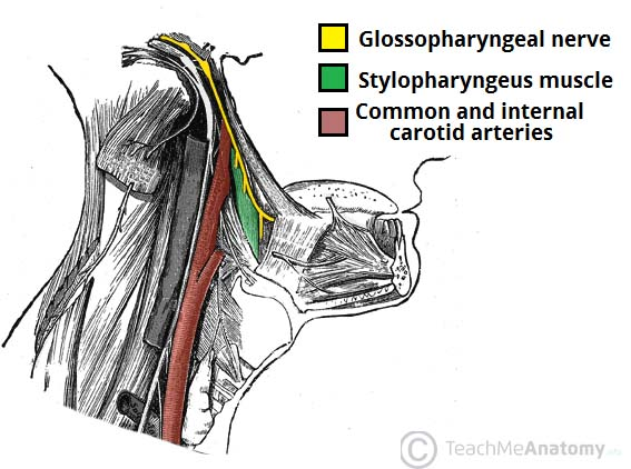 Fig 1.0 - Lateral view of the neck, showing the innervation of the stylopharyngeus muscle.