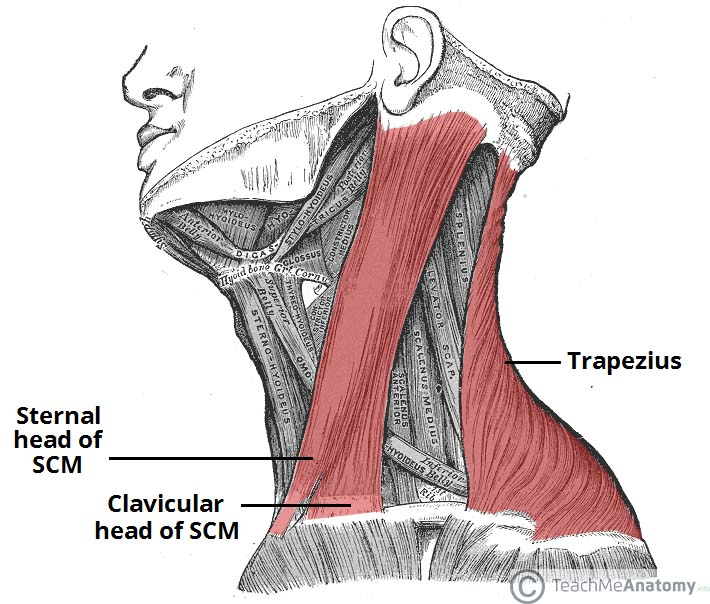Fig 1.1 - Lateral view of the neck. Note the two heads of the sternocleidomastoid (SMC).